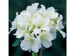 2 L pot (17 cm) azalea japonica