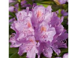 Catabiensis Grandiflora
