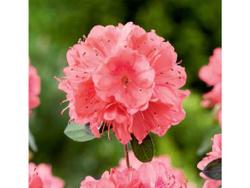 Blaauws Pink