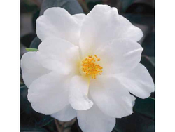 White Zwan