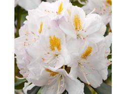 5 l POT (23 cm) rododendron