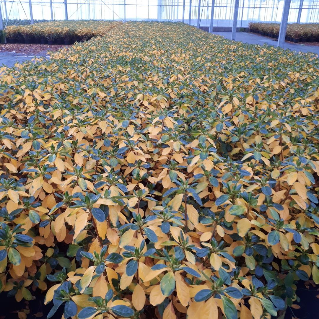 gekleurd blad geel