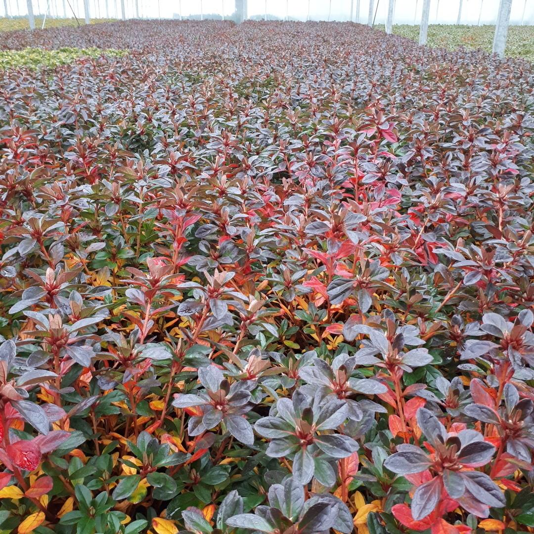 gekleurd blad rood